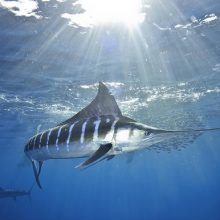 F442-Striped-Marlin-11