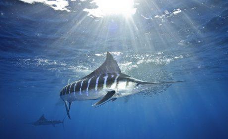 F442 Striped Marlin 11